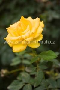 Růže polyantka FRESIA - žlutá