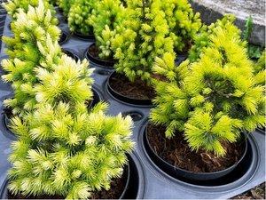 Smrk sivý - Picea glauca BIESENTHALER FRUEHLING, C 2 l
