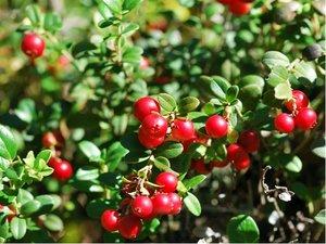 Brusinka RED PEARL - keříčková