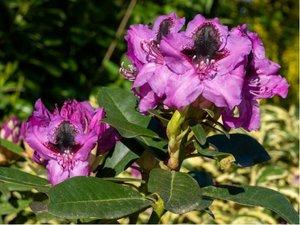 Rhododendron GRAAL MÜRITZ - fialový s tmavým okem, C 2 l
