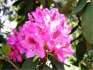 Rhododendron CONSTANZE - růžový, C 2 l