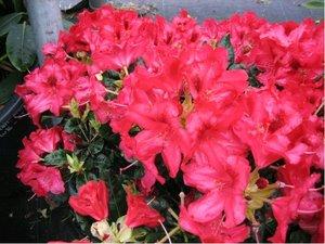 Rhododendron VULCAN´S FLAME - červený, C 2 l