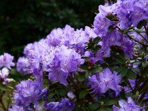 Rhododendron SAINT MERRYN - světle fialový, zakrslý, C 2 l