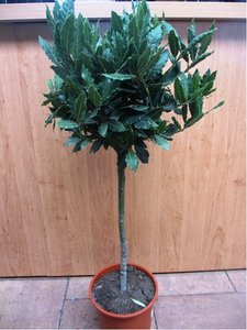 Vavřín - bobkový list - stromek, výška 40 cm