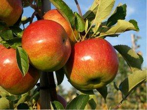 Sloupovitá jabloň SWING - podnož MM106