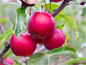 Sloupovitá jabloň RED RIVER - podnož M26