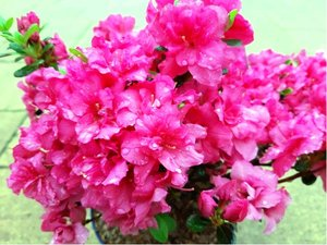 Azalka japonská ROKOKO - růžová, C 2 l