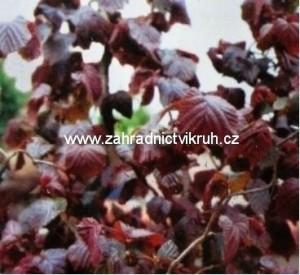 """Líska červenolistá - Corylus avellana """"Red Majestic """"  4 L"""