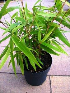 Bambus - Fargesia rufa C 1,5 l