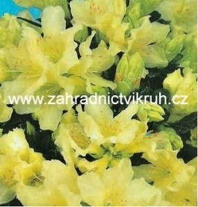 """Rhododendron """"Patty Bee"""" 2 L"""