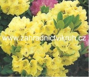 "Rhododendron ""Horizon Monarch"" 1,3 L"