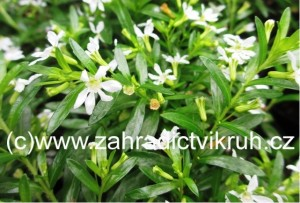 Cuphea hyssopifolia bianca - Myrta japonská bílá