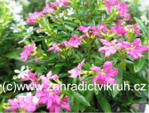 Cuphea hyssopifolia rosa - Myrta japonská růžová