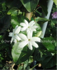 Jasminum polyanthum - Jasmín mnohokvětý