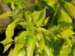 Kafrovník lékařský - Cinnamomum Camphora