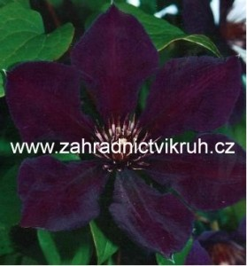 Clematis ´Gipsy Queen´ 2l