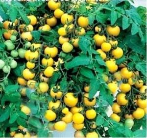 Rajče balkonové Primagold žluté