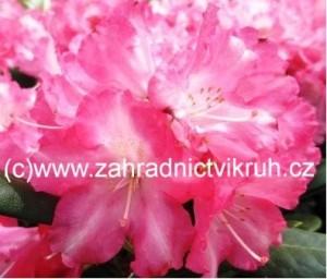 Rhododendron Marlis - růžový v kontejneru 3 L