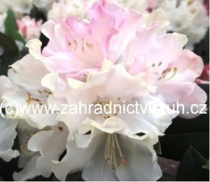 Rhododendron Dreamland - bílorůžový
