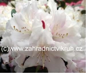 Rhododendron Schneekrone - bílý v kontejneru 3 L