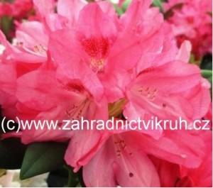 Rhododendron Sneezy - růžový v kontejneru 3 L