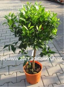 Mandarinka SATSUMA P20