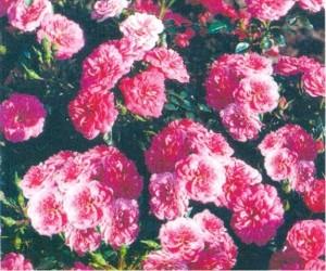 """Růže Kordes """"Kniprs"""""""
