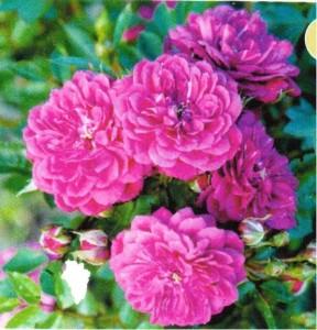 """Růže Kordes """"Purple Rain"""""""