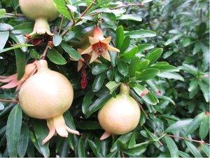 Granátové jablko Nana