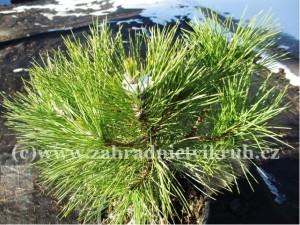 "Borovice černá - Pinus nigra ""Nana"" 5 L"