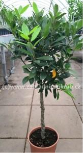 Vavřín - stromek v květináči P18
