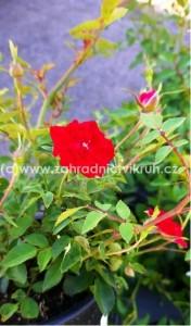 """Růže půdopokryvná """"Red Cascade"""" tmavě červená"""
