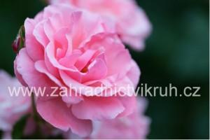 """Růže půdopokryvná  """"Bonica"""" růžová"""