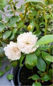 """Růže půdopokryvná """"White Fairy"""" bílá"""