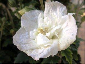 Ibišek syrský White Chiffon - bílý