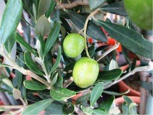 Olivovník v květináči P14