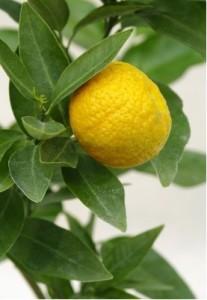 Citrus Tangerina TRABUT - roubovaná