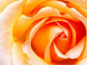 Růže REMY MARTIN - velkokvětá, světle oranžová