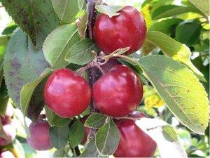Sloupovitá jabloň Red Spring v kontejneru