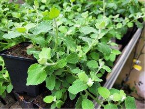 Helichrysum petiolare - K 11