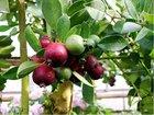 Jahodový stromek - Psidium červenoplodé - Catleianum
