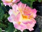 Růže velkokvětá GLORIA DEI - růžovo-žlutá