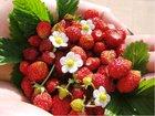 Jahodník červený - měsíční, stáleplodící
