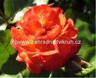 Růže polyantka KARNEVAL - žluto-červená
