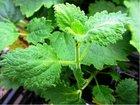 Chřipkovník  - Plectranthus spp.