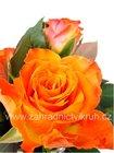 Růže velkokvětá MONIKA - oranžová