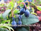 Pokojová borůvka Blau Perle