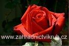 Růže velkokvětá Barkarole červená