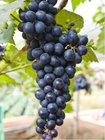Réva venkovní modrá VENUS - rezistent - NOVINKA